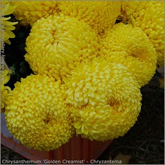 Chrysanthemum 'Golden Creamist' - Chryzantema 'Golden Creamist'
