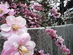 Photo:20120318_01  西 素盞嗚神社(にし すさのおじんじゃ)の梅 By peter-rabbit