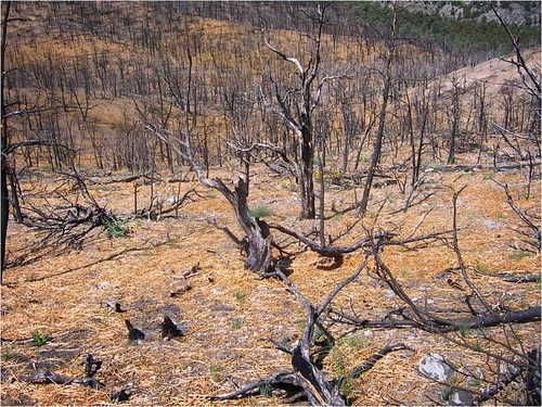 WoodstrawTM covering forest land impacted by wildfire. Photo courtesy: Forest Concepts