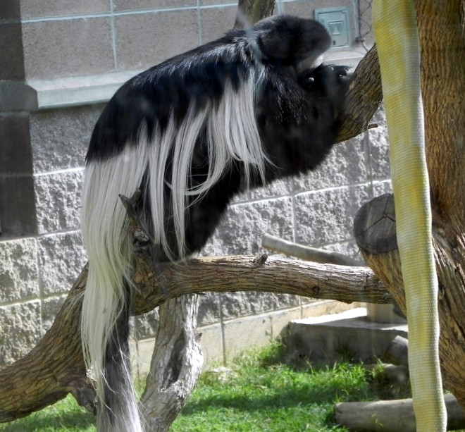 04-07-2012_Black and White Colobus