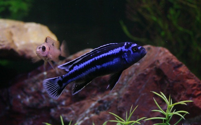 electric blue african cichlid - photo #14