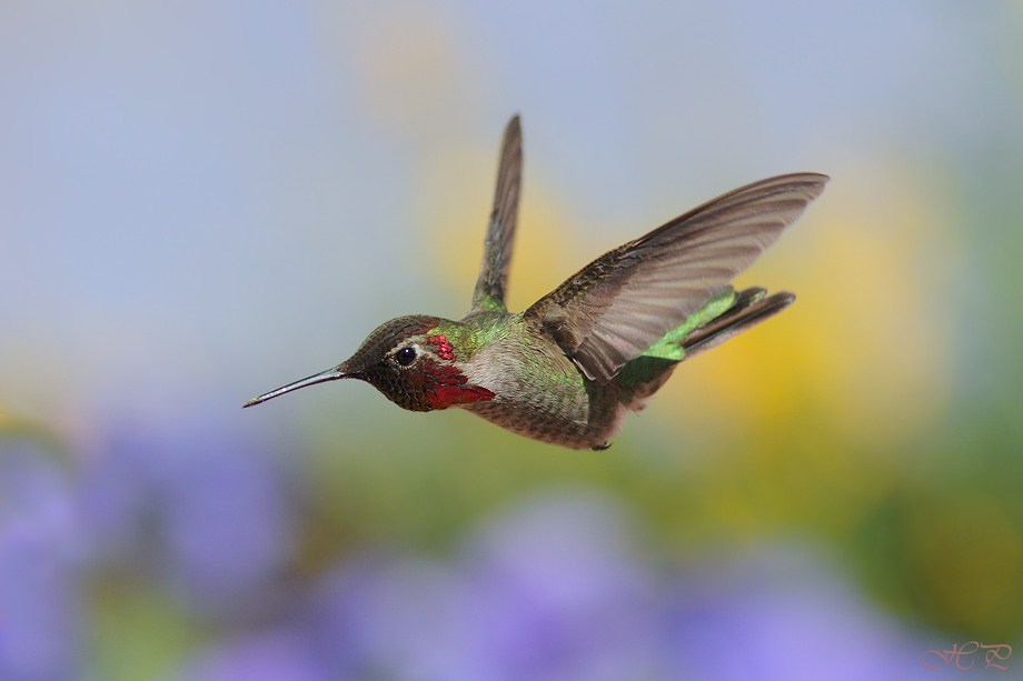 Anna's Hummingbird 042612-2