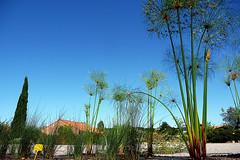 plantas de papiro