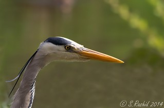 Grey Heron Up Close