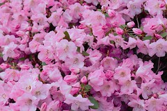 azalea(0.0), annual plant(1.0), blossom(1.0), shrub(1.0), flower(1.0), rhododendron(1.0), plant(1.0), flora(1.0), pink(1.0), petal(1.0),