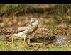 Suspicious Curlew is Suspicious by David de Groot