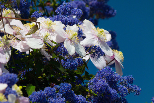 Colour contrast: ceanothus and clematis flowering