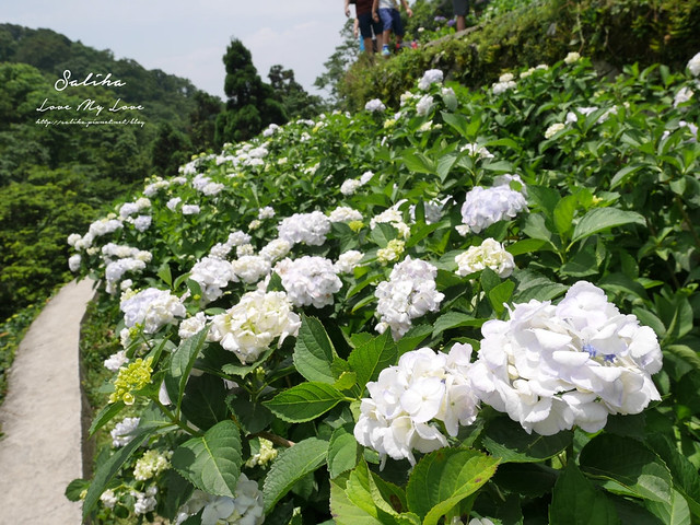 陽明山繡球花大梯田農場 (26)