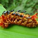 Shag-carpet caterpillar, Tarchon felderi or Prothysana fel ...