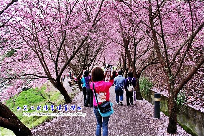 23 櫻花隧道