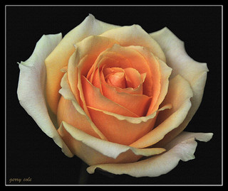 Rose Orange Canvas