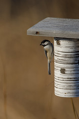 Chickadee on Bluebird House_8828.jpg by Mully410 * Images