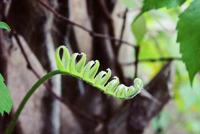 curly fern 1