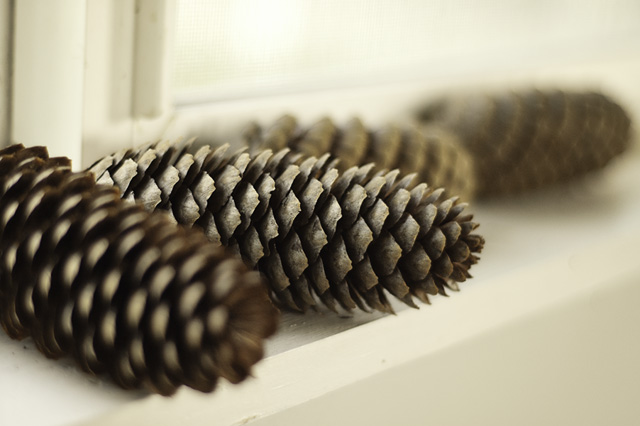 Pine cones blog