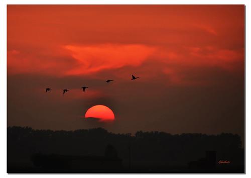 trees sunset red sun birds animals silhouette alberi fly tramonto ducks uccelli volo sole rosso lombardia animali controluce ghostbuster anatre gigi49 barcklight