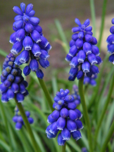 Muscari armeniacum - Grape Hyacinth by abracacamera