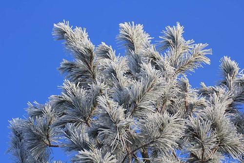 hoar frost pine 2 11 02 12