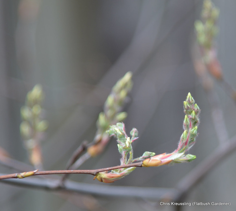 Buds, Amelanchier x grandiflora 'Autumn Brilliance'