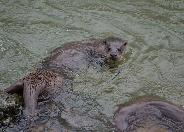 3 Nutrias / 3 Otters (lutra lutra)