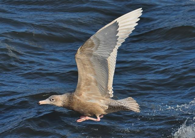 Glaucous Gull 5