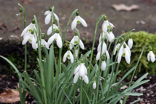 Common Snowdrops - Galanthus nivalis