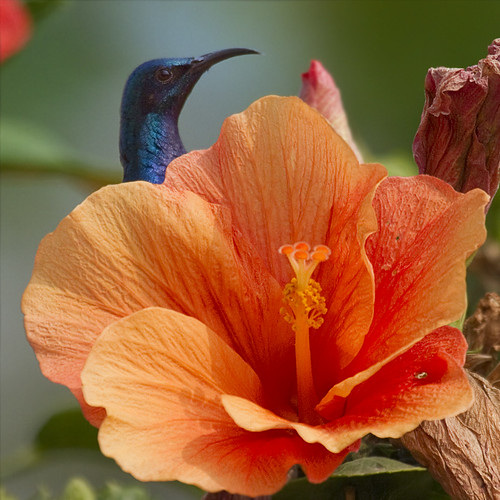 A Purple sunbird male peeks over a Hibiscus flower...