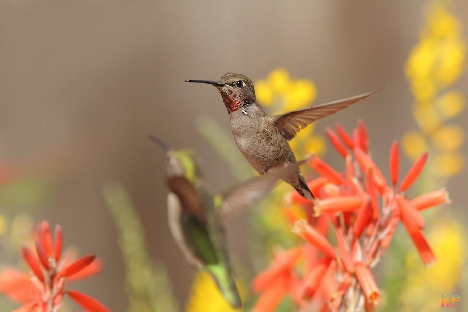 Anna's Hummingbird 031512-4