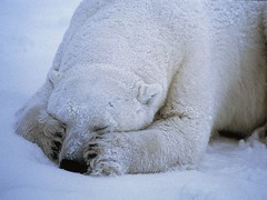polar-bear-sleeping_666_600x450