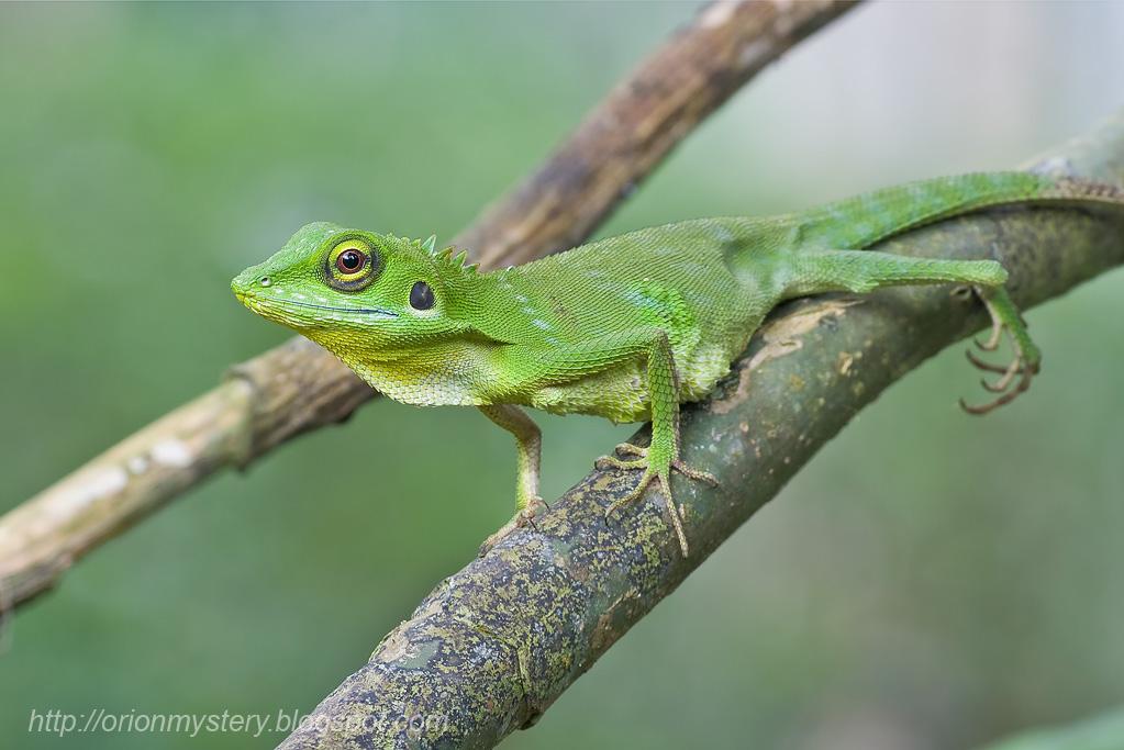 Green crested lizard - FM Forums