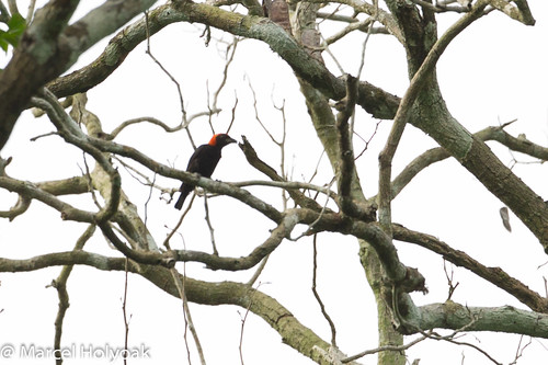 birds weavers cameroon littoral redheadedmalimbe malimbusrubricollis sanagariver malimbes