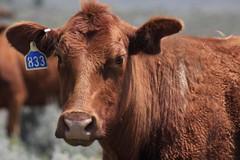 Oregon cattle