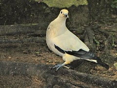 Pied Imperial-pigeon Ducula bicolor