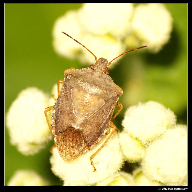 Unknown Hemiptera