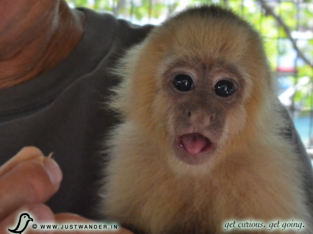 PIC: White Headed Capuchin Monkey in Roatan, Honduras