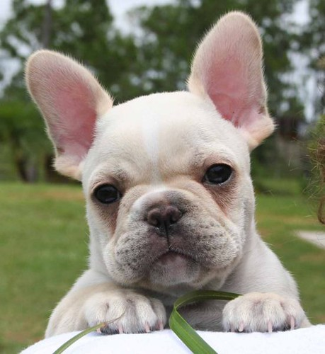 french_bulldog-breed