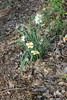 Meadowlark Botanic Gardens - Daffodils in the Woods
