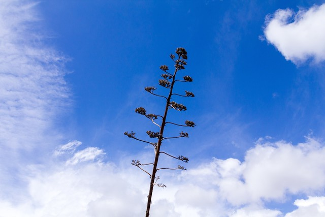 Agave & clouds
