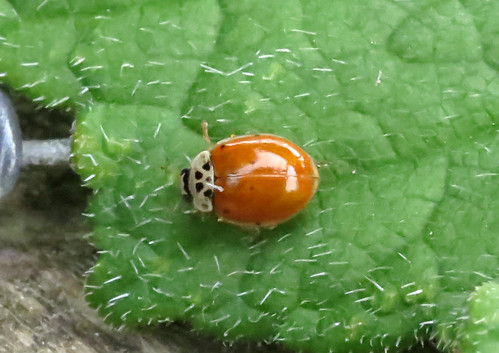 10-spot ladybird Adalia 10-punctata Tophill Low NR, East Yorkshire May 2016