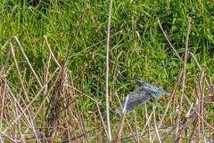 Striated Heron (Super RARE)