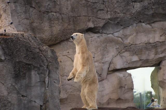 Eisbär Lili im Zoo am Meer Bremerhaven 14.05.2016 Teil 2 0174