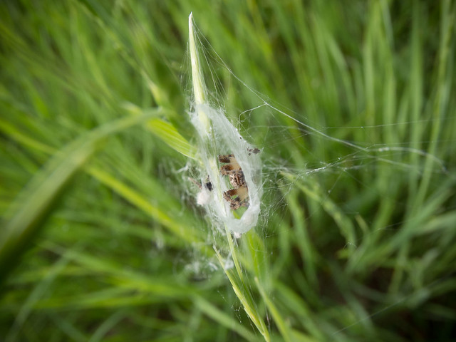 Spider in its tent