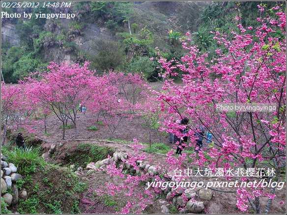 台中市北屯_大坑濁水巷櫻花林20120225_R0059958