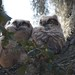 Baby Great Horned Howls