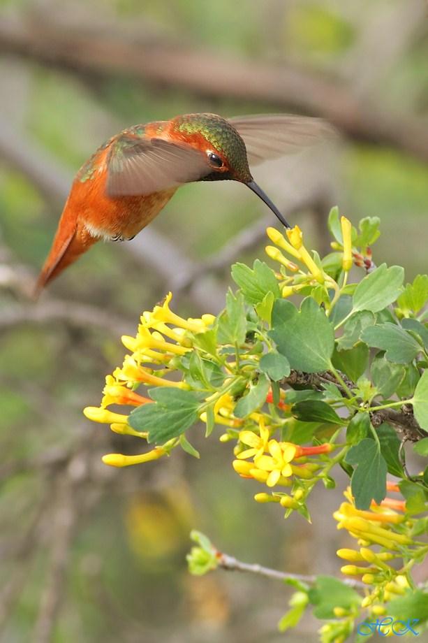 Allen's Hummingbird 030112-5