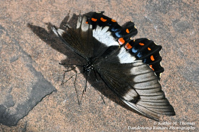 Damaged wing Butterfly