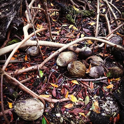 Coconut Flotsam Matheson Hammock