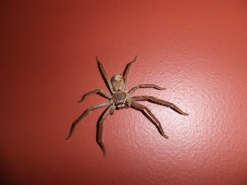 Huntsman Spider 57/366