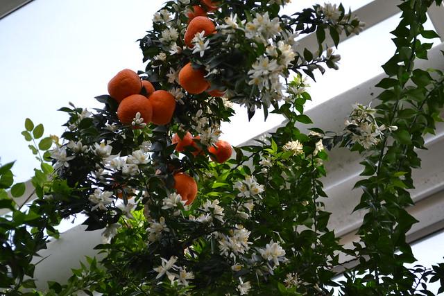 Myrtle-leaved citrus (Citrus myrtifolia)