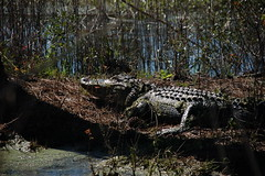 ACE Basin Alligator