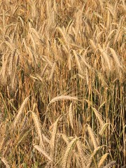 emmer, hordeum, agriculture, triticale, einkorn wheat, rye, food grain, field, barley, wheat, crop, cereal,